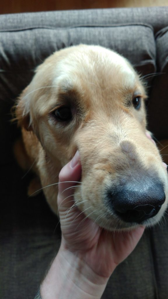 Golden retriever with probable bee stings on nose