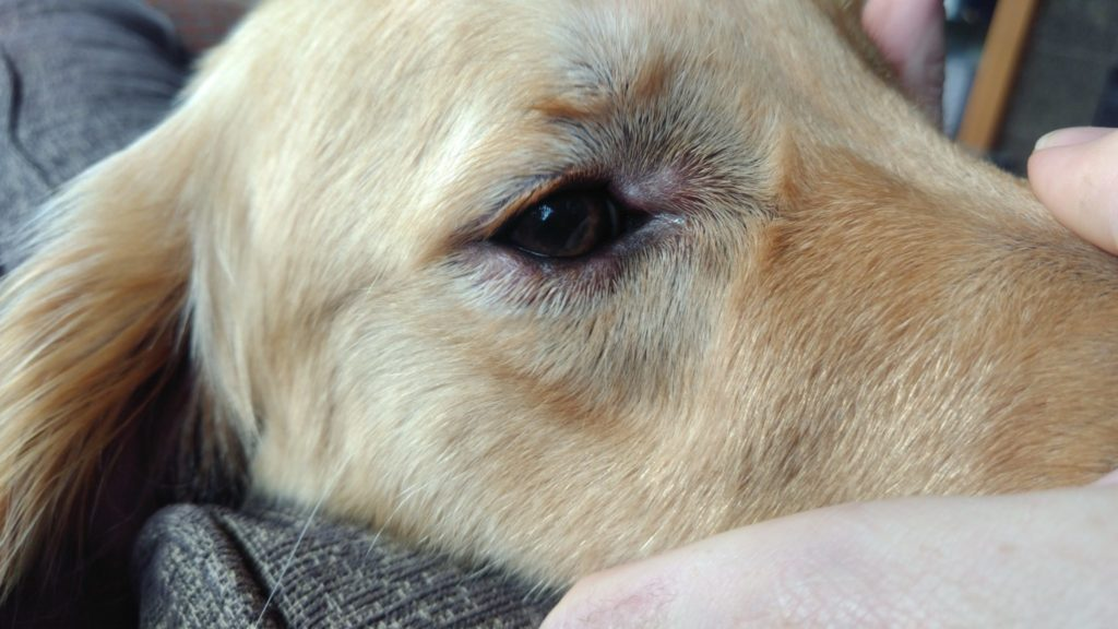 Golden retriever swelling around eyes from allergic reaction