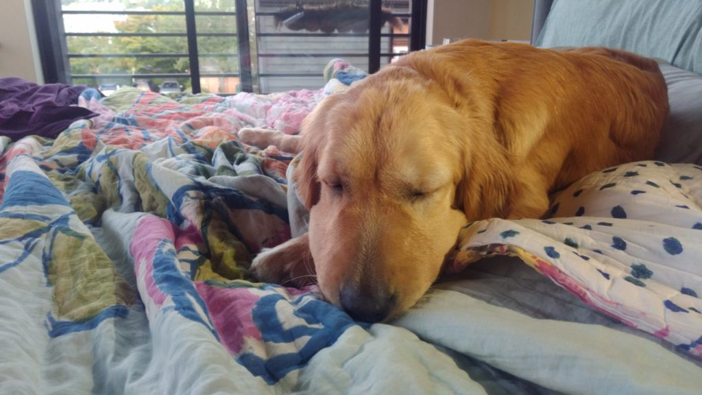 Golden retriever with swollen nose sleeping on bed